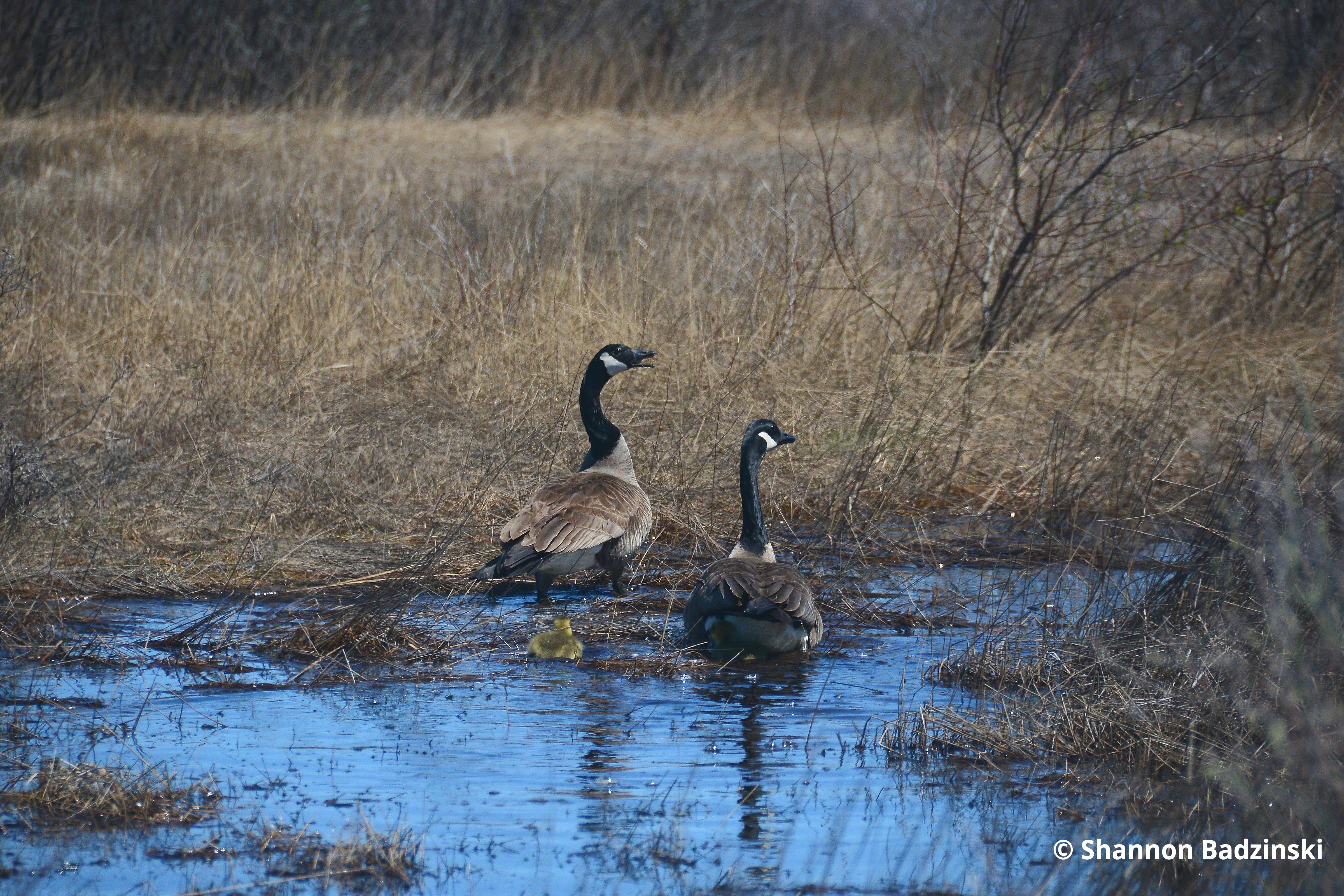 Canada geese Akimiski Island Shannon Badzinski
